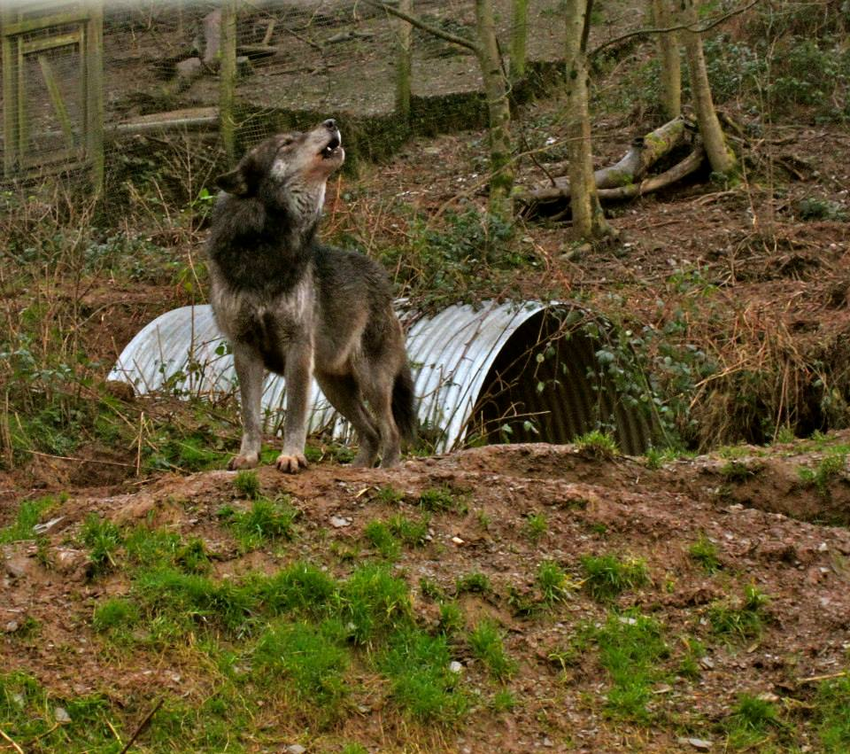 things we can learn from wolves