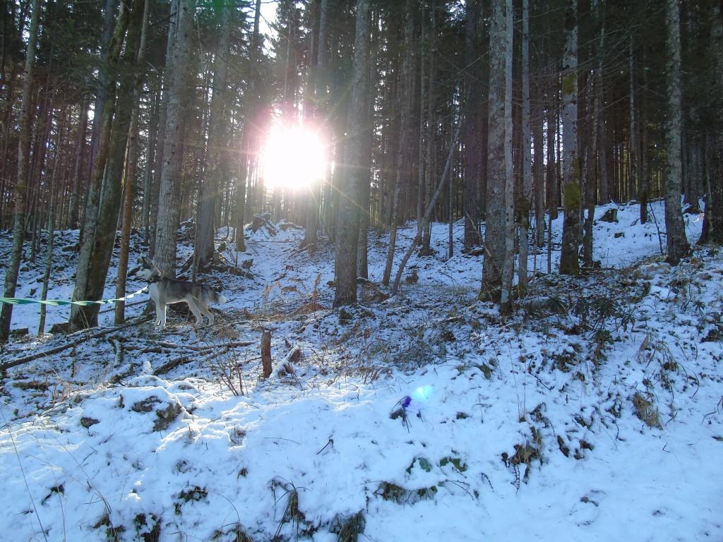 husky photo in the snow austria