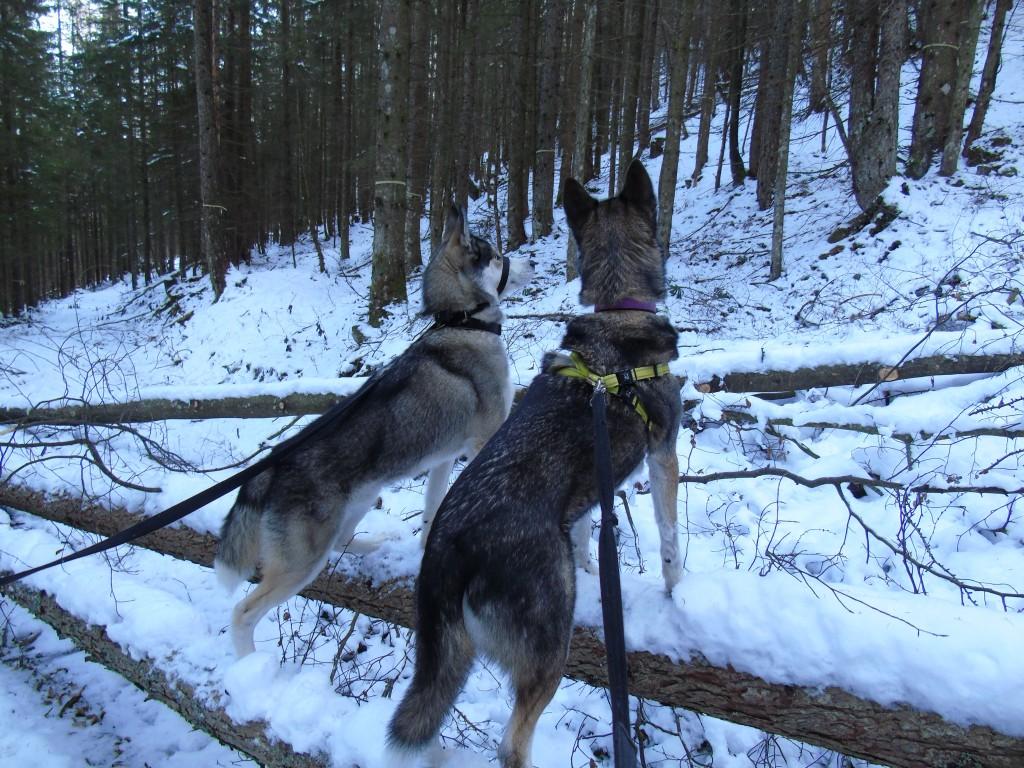 huskies wolves in snow woods austria