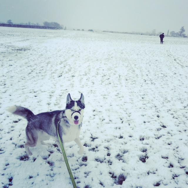 husky in the snow in cambridge