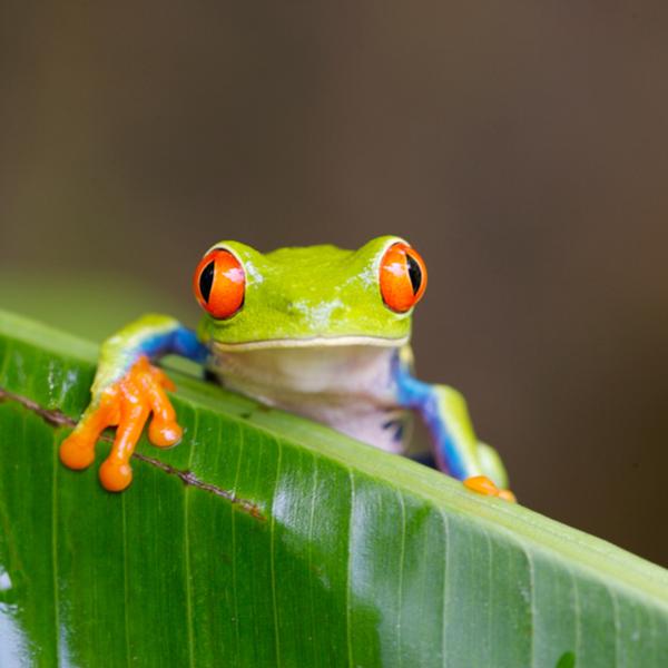 selva frog