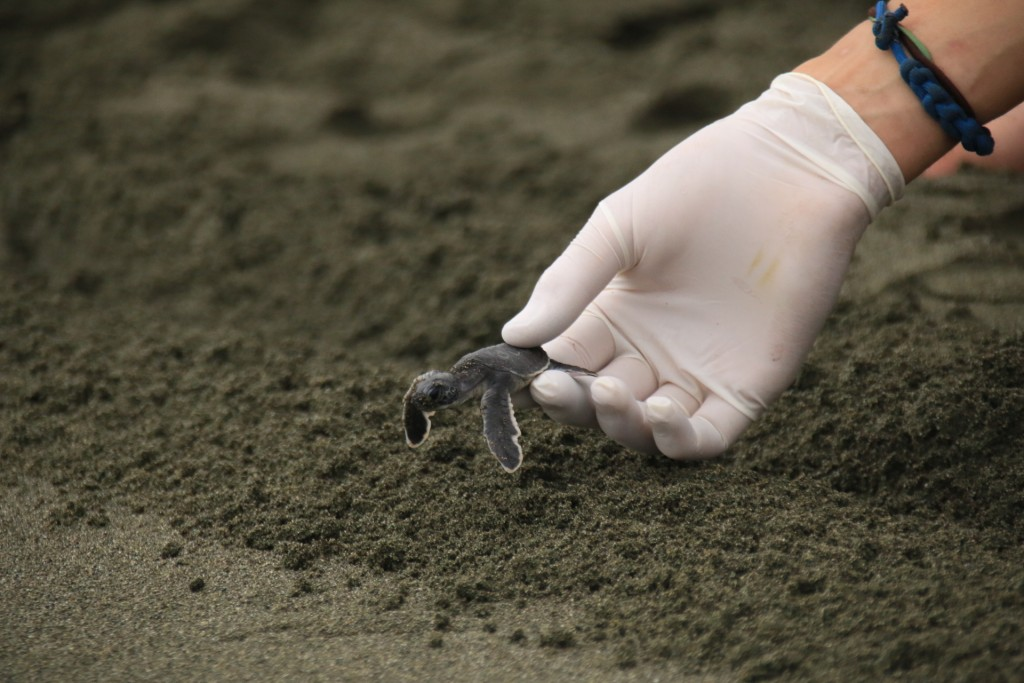sea turtle green baby release hatchling costa rica