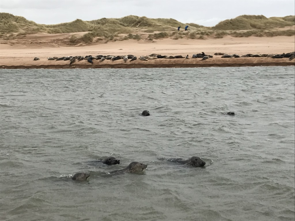 seals at newburgh beach scotland