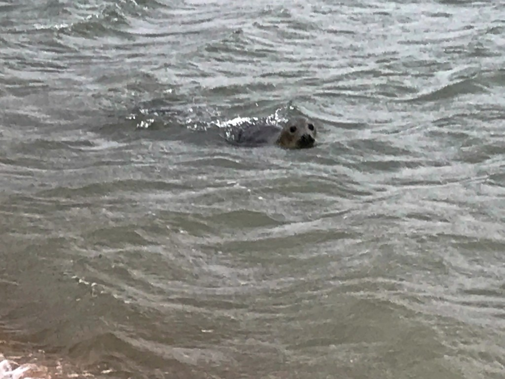 grey seal newburgh beach scotland